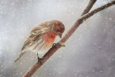 Steadfast - We had our first snow storm of the year and it never ceases to me amaze me how resilient these little House Finch's are. by Shauna Kenworthy