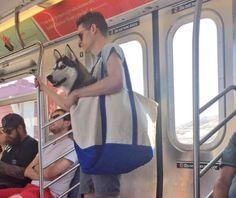 Husky in a bag :) - Finally... a way to take my baby on transit!!! @TransLink  #Vancouver