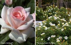 Fragrant roses with minimal care!  Read more about the varieties Star® Roses and Plants has to offer. #easycare