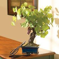 Growing grapevine trees is a time-consuming hobby for any gardener. As grapevines are vines and naturally want to spread out, it takes careful pruning to encourage your grapevine to grow straight up into a tree formation. Trees are crafted from the thick, woody vines and are popular as miniature bonsai trees or larger garden varieties. They can...