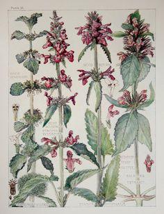 1910 Botanical Print by H. Isabel Adams: Dead-nettle Family, White Horehound, Wood Betony, Common Hemp-nettle, Hedge Woundwort