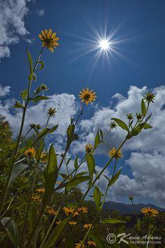 Black Eyed Susan - Rudbeckia hirta, great for pollinators, native