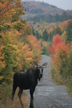What's better than a photo of a Maine moose? A photo of a Maine moose with fall foliage! Taken east of Greenville. Maine