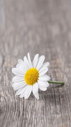 Picture of Chamomile flower on wooden background stock photo, images and stock photography. Daisy Wallpaper, Rose Flower Wallpaper, Graphic Wallpaper, Iphone Background Wallpaper, Scenery Wallpaper, Love Wallpaper, Flower Backgrounds, My Flower, Flower Power