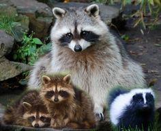 Raccoons and Baby Skunk photo Raccoon.jpg