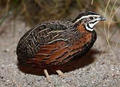 Harlequin quail  - Coturnix delegorguei.    Africa.