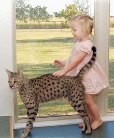 I want a Savannah Cat!!