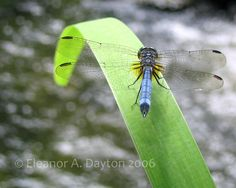8x10 Waiting Patiently Dragonfly Nature by WhimzyBubbly on Etsy
