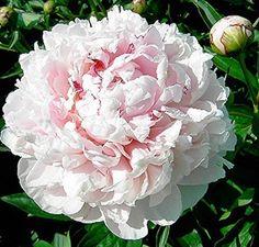 Peony - Sarah Bernhardt - Double Pink, Midseason