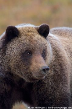 Without doubt, the highlight of our trip was seeing several coastal brown bears up close and personal (from the safety of a bus!).