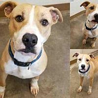 Texas City, Texas - Pit Bull Terrier. Meet AXEL, a for adoption. www.adoptapet.com...