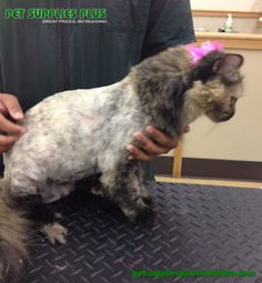 Sasha looks great after her spa visit with Katie, our resident cat expert! Pet Supplies Plus, Cat Grooming, Looks Great, Spa, Pets, Animals, Pet Supplies, Animales, Animaux