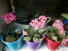 Calanchoes