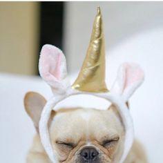 Leo, the Elusive Uni-Frenchie, French Bulldog Puppy, @frenchieleo on instagram