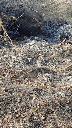 Oriental garden lizard Mauritius  (camouflaged)