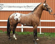 Approved Knabstrupper sport stallion, Calimero, at his judging. Leopard complex produces the same varieties of phenotype in any breed that carries it. So what we are used to thinking of Appaloosa colors are regularly found in Denmark's Knabstrupper. Pretty Horses, Horse Love, Beautiful Horses, Cute Creatures, Beautiful Creatures, Animals And Pets, Cute Animals, Horse Markings, Appaloosa Horses