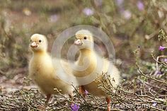 Fluffy chicks of  European goose on a field