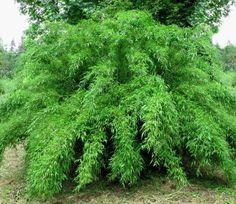 De kleinblijvende en niet woekerende Bamboe Fargesia Bimbo staat schitterend als solitaire bamboe maar ook in een kuip of pot. Bestellen en bezorgen.