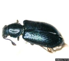 CSI Bugs: Beetles That Eat Bodies