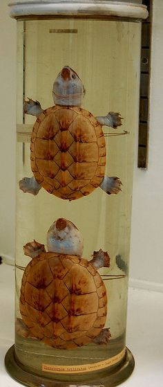 Turtles, Wet Specimens ll | Flickr - Photo Sharing!