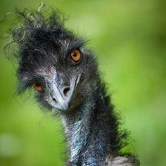 "Emu ~ The largest bird native to Australia ~ Miks' Pics ""Fowl Feathered Friends… Pretty Birds, Beautiful Birds, Animals Beautiful, Funny Dogs, Funny Animals, Cute Animals, Wild Animals, Baby Animals, Regard Animal"