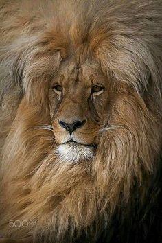 D03012018 Beautifull lion