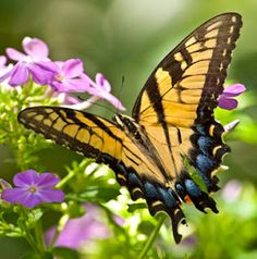 Yellow swallowtail visiting my garden phlox