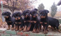 Rottweiler Puppies Rottweiler Dog Training  http://tipsfordogs.info/90dogtrainingtips/