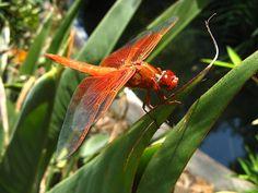 "male Flame Skimmer dragonfly.  File:RubyMhawk.jpg photo by ""regular daddy"" on wikipedia"