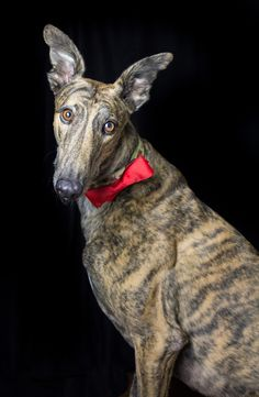 greyhound, christmas photography session, family photography, dogs #jessiehayesphotography