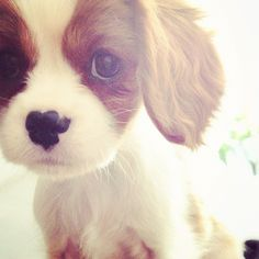 Little cavalier King Charles puppy.