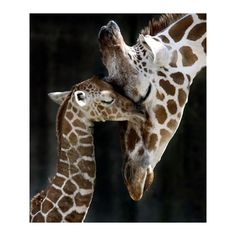 Pinterest / Search results for giraffe ❤ liked on Polyvore featuring animals, pictures and backgrounds