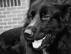 Our other gorgeous dog, Odinn. He's a Husky x GSD.