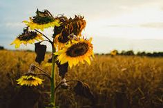 girasoles en el cementerio - Buscar con Google Photoshop, Free Photos, Dandelion, Flowers, Plants, Outdoor, Google, Cemetery, Sunflowers