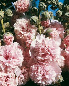 Stockrose 'Appleblossom' Jetzt aussäen: Im englischen Landhausgarten sind Stockrosen einfach unentbehrlich. Von Thompson & Morgan bieten wir Ihnen hier die klassische Stockrose 'Appleblossom' an. Einfach wunderschön sind die attraktiven Rispen mit erstaunlichen, doppelten, wohlriechenden Blüten in reinstem Apfelblütenrosa. Diese traditionelle Staude ist ideal, um Höhe (150-180 cm) und Ambiente in Landhausgärten und Rabatten zu bringen. Die winterharte Stockrose kann von September bis…