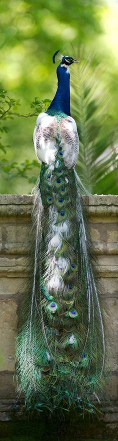 Beautiful Peafowl - The males are called peacocks. The females are called peahens and the young are called peachicks. Most Beautiful Birds, Pretty Birds, Love Birds, Beautiful Pictures, Exotic Birds, Colorful Birds, Beautiful Creatures, Animals Beautiful, Animals Amazing