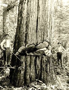 Cathedral Grove   Big Trees: Pictures & Politics   Big Trees as Trophies