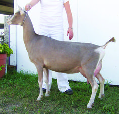 Toggenburg goats are a durable goat breed that have stood the test of time. The Toggenburg goat originated in the Toggenburg Valley of Switzerland and is known as the oldest breed of dairy goat.