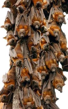 The Little Red Flying Foxes: Species of megabat native to northern and eastern Australia. With a weight of 280–530 grams it is the smallest flying fox in mainland Australia.*
