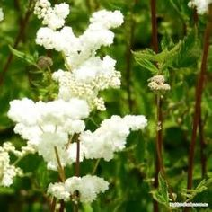 Loving the organic Meadowsweet in my formulations.