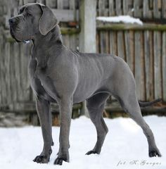 Blue European Great Dane