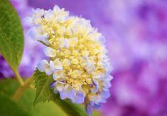 HappyModern.RU | Гортензия (60 фото) — королева в вашем саду: виды и особенности ухода | http://happymodern.ru