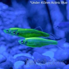 Glofish: History &Care - Live Fish | Pet Care Corner by PetSolutions - PetSolutions Blog