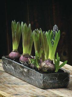 houseplants by AKURATNIE kwiaty   www.akuratnie.com.pl  www.facebook.com/akuratnie.kwiaty  www.instagram.com/akuratnie.dw  #akuratnie #spring #hyacinth #hyacinthus #flowers #violet #wiosna #hiacynt #kwiaty #fiolet