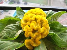 Celosia cristata (yellow) by MainakRoy, via Flickr