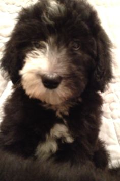 Sheepadoodle puppies at feathers and fleece