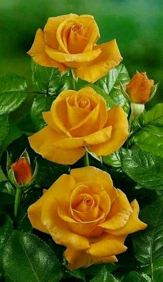 Growing Roses - 5 Top Mistakes to Avoid Beautiful Rose Flowers, Exotic Flowers, Amazing Flowers, Beautiful Flowers, Art Flowers, Rose Pictures, Flower Photos, Orange Flowers, Yellow Flowers
