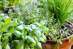 La felicidad que proporciona sembrar y cultivar tus propias hierbas es sólo comparable con la felicidad de cocinar con ellas.