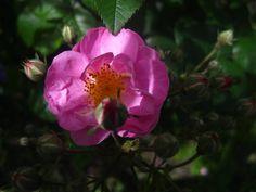 Temple flower  -~Louielovell on Deviantart