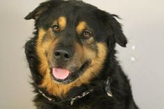 #SCAROLINA ~ Cannon is a 2yo Bernese Mountain Dog mix in need of a loving #adopter / #rescue at GREENVILLE COUNTY ANIMAL CONTROL 328 Furman Hall Rd  #Greenville SC 29609 petpr@greenvillecounty.org Ph 864-467-3950